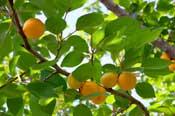 massage olie van abrikozenpit