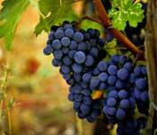olie maken van druivenpitten