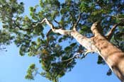 olie maken van eucalyptus