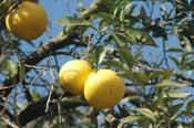olie maken van grapefruit
