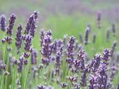 olie maken van lavendel