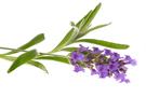 effecten van lavendel olie