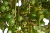 olie maken van macadamia